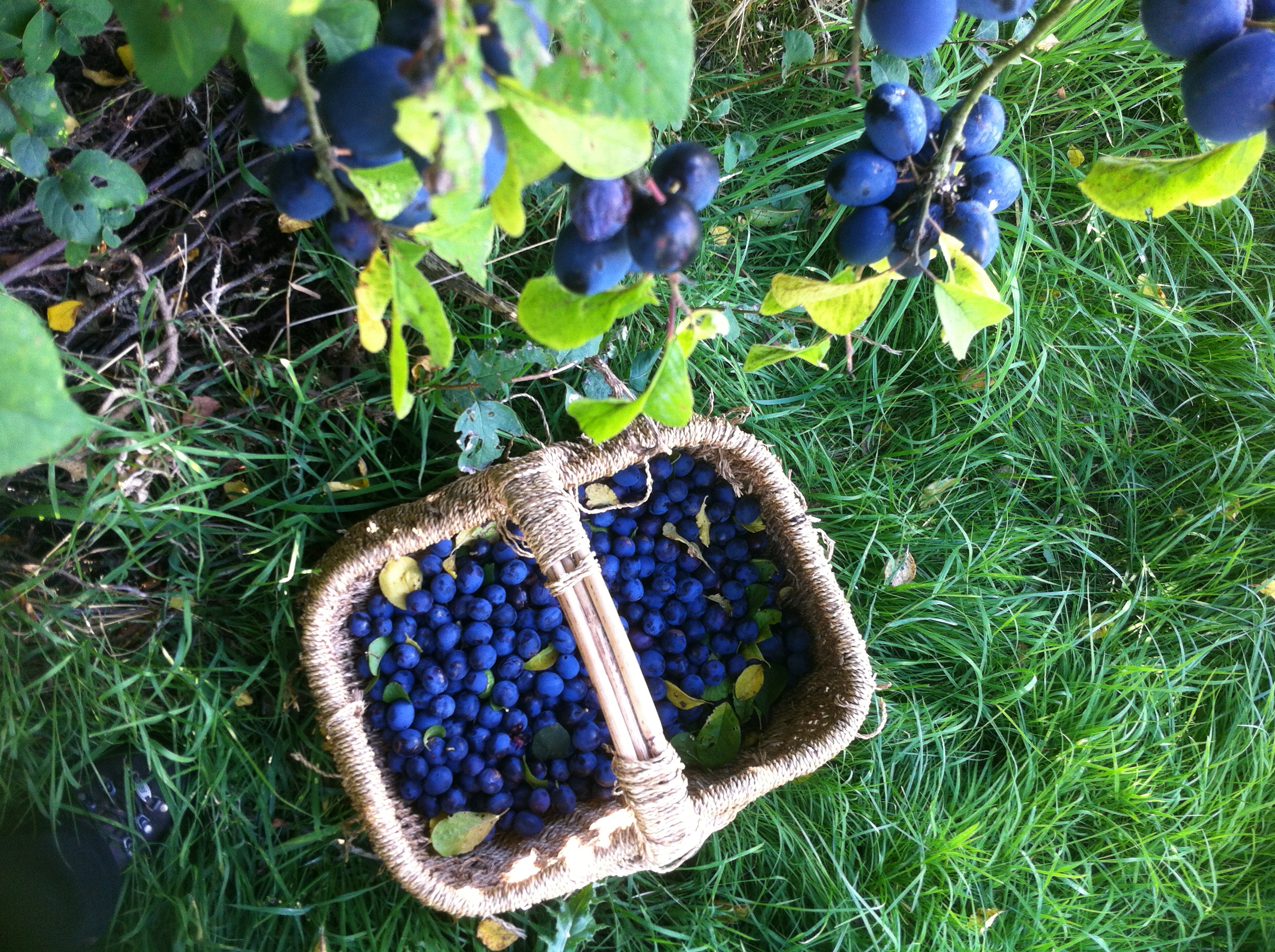 Basket of my favourite Damsons