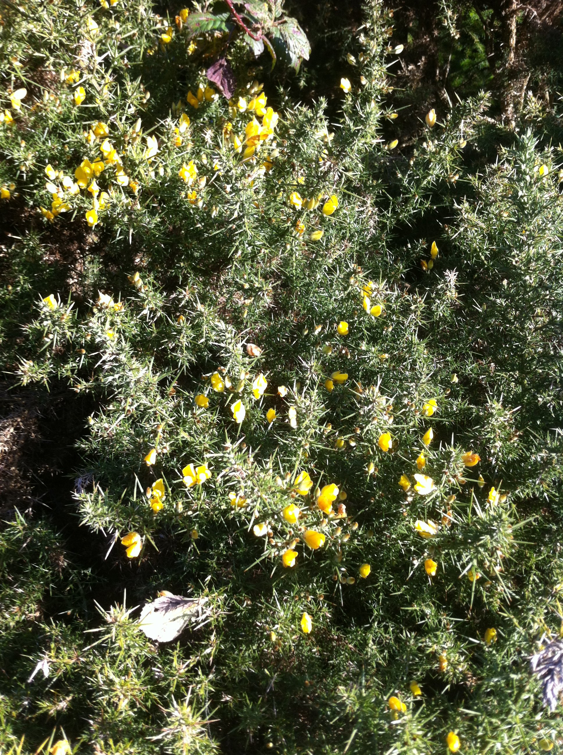 Gorse bloom 2nd Jan