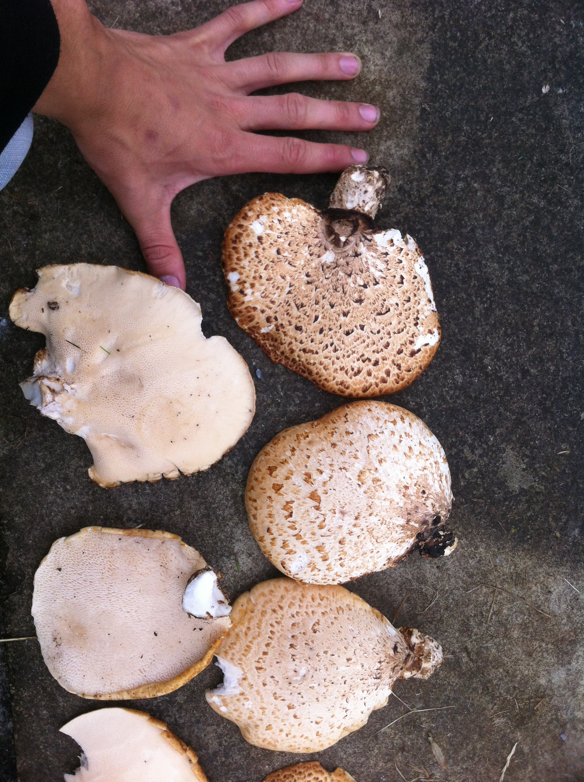 Dryad's saddle showing good size to eat